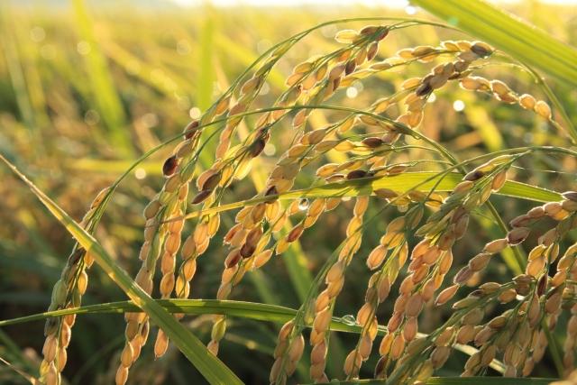 玄米をそのまま食べる事の問題点について