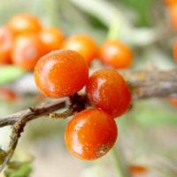 299種類もの栄養が注目なサジーの健康効果
