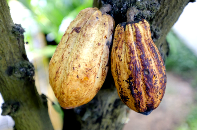ココアやチョコの原料「カカオ」の栄養効果とは?