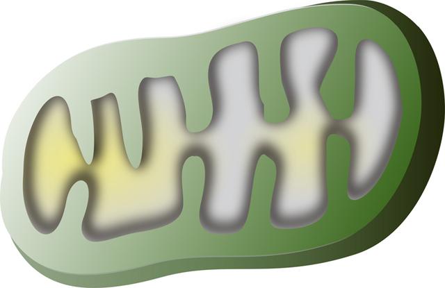 活性酸素・フリーラジカルはミトコンドリアの元気を奪う原因