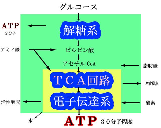 酸素呼吸でエネルギー通貨である「ATP」(アデノシン3リン酸)が合成される