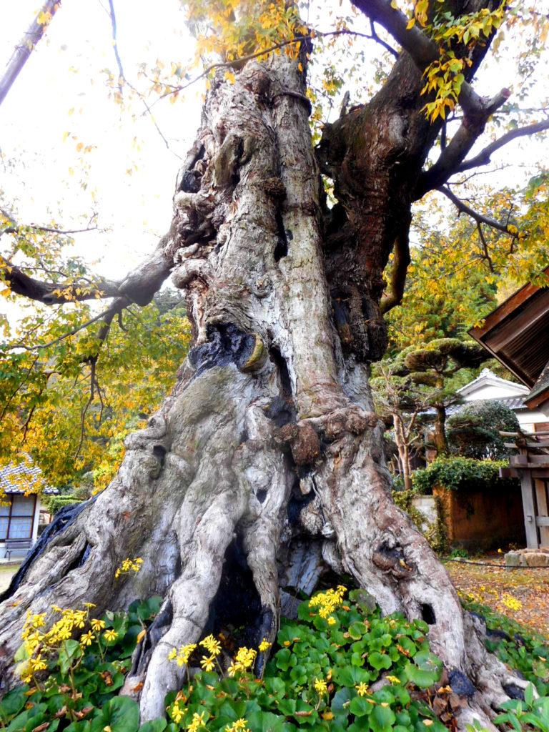 出雲大社のムクの巨木
