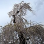 "<span class=""title"">桜を感じる瞬間(とき) in  山形 烏帽子山公園</span>"