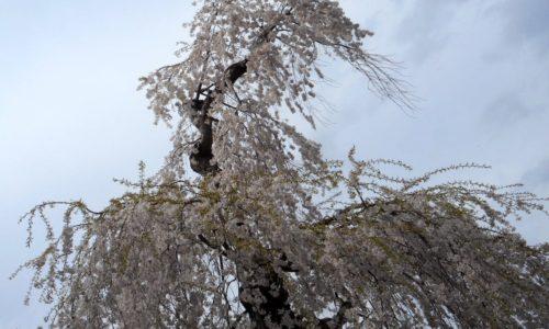 桜を感じる瞬間(とき)